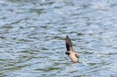 Tree Swallow Over the Water — Stock Photo