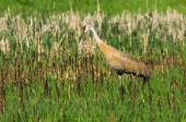 Żuraw kanadyjski — Zdjęcie stockowe