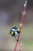 Yellow-Rumped Warbler — Stock Photo