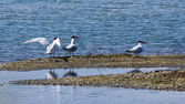 Caspian Terns — Stock Photo