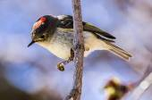 Ruby-Crowned Kinglet — Stock Photo