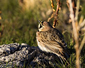 Horned Lark — Stockfoto