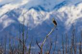 Western Meadowlark Perched on a Tree — Stock Photo