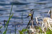 Yellow-Rumped Warbler — Stock Photo