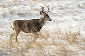 Mule Deer Buck in the Snow — Stock Photo