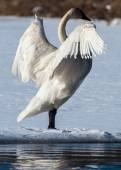 Tundra Swan Spreads its wings — Stock Photo