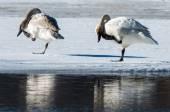 Tundra Swans Scratching their Bills — Stock Photo