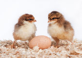 Two baby chicks with an egg — Stock Photo