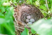 Nest of speckled brown eggs in the spring — Foto Stock
