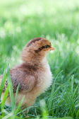 Fluffy new chick in the grass — Stockfoto