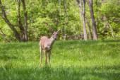 Jonge herten in een suburbane achtertuin — Stockfoto