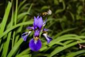 Iris with Hummel — Stock Photo