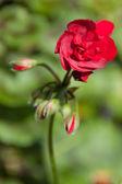 Flowers - flower - buds — Stock Photo