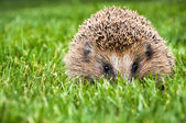 Hedgehog in green grass — Stock Photo