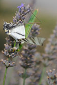 Praying mantis eating a butterfly — Stockfoto
