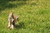 Eichhörnchen auf dem rasen — Stockfoto