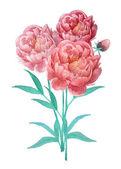 Watercolor peony flowers bouquet — Stock Vector