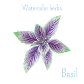 Basil hand drawn — Stock Vector