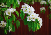 Flowering tree closeup — Stock Photo