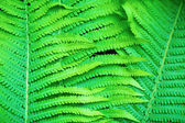 Fern as a background — Stock Photo