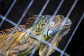 Iguana desire freedom — Stock Photo