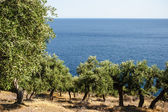 Olive grove over the blue sea — Stock Photo