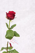 Rose for Valentine's day with badge in german — Stock Photo