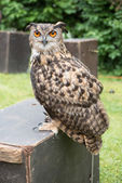 Owl is standing on a wooden box — Stock Photo