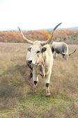 Huge oxen grazing — Stock Photo