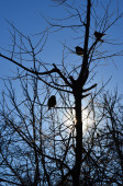 Three sparrows in a tree. — Stock Photo