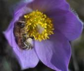 Honey Bee on pasqueflower — Stock Photo