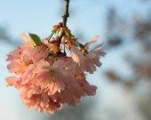 Sakura cherry flower (Prunus serrulata) — Stockfoto