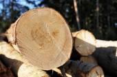 森の端に木の杭 — ストック写真