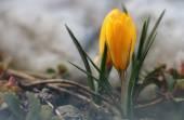 Spring flower yelow crocus in the garden — Foto de Stock