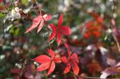 parthenocissus quinquefolia on the colour background — Stock Photo