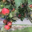 Red apples grows on branch in garden near house  — Stock Photo #62823955