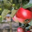 Red apples grows on branch in garden near house — Stock Photo #62824061