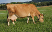 Jersey gravid cow grazing on a summer pasture  — Stock Photo