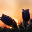 Silhouette of Spring flower Pasqueflower- Pulsatilla grandis at  — Stock Photo #69548427