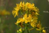Close-up  Hypericum flowers (Hypericum perforatum or St Johns w — Stock Photo