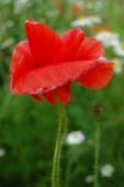 Spring or summer time, red poppy flower — Stock Photo