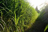 Sockerrör gård — Stockfoto