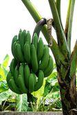 Banana tree with fruit 2 — Stock Photo