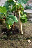 Short banana tree with fruit — Stock Photo