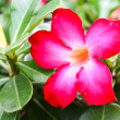 Pink Desert Rose or Impala Lily or Mock Azalea flower — Stock Photo #64007299