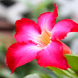 Pink Desert Rose or Impala Lily or Mock Azalea flower — Stock Photo #64007547