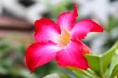 Pink Desert Rose or Impala Lily or Mock Azalea flower — Stock Photo