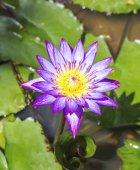 Розовый лотос цветет или водяной лилии цветы цветут на пруду — Стоковое фото