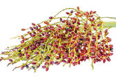 Palm seed bunch - riped — Stock Photo
