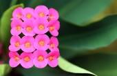 Closeup of Euphorbia milii — Stock Photo